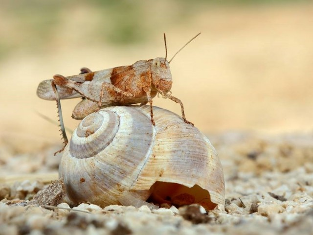 Kobilica peščenka