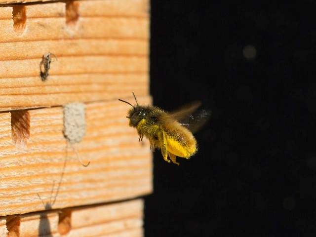 Čebele samotarke
