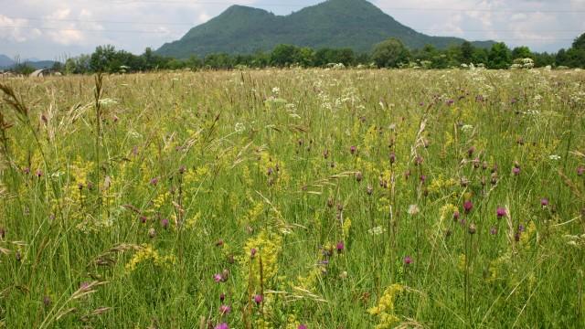 Biodiverziteta suhega travnika na obrobju Ljubljane