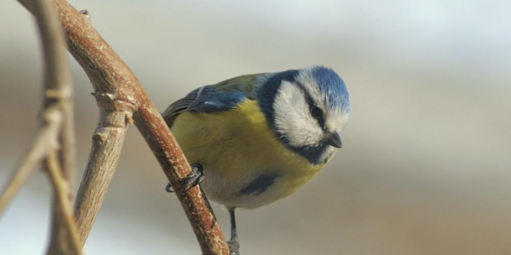 Ptice travniškega sadovnjaka