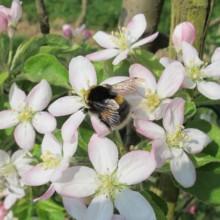 Predavanje o čmrljih in čebelah samotarkah